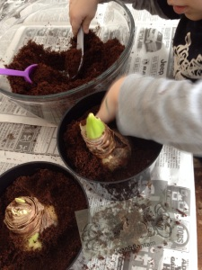 planting amaryllis