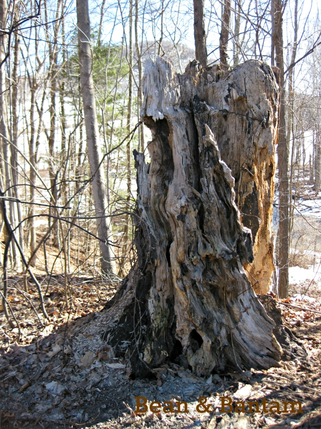 Road-side stump, maple or chestnut?