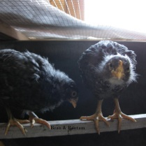 3-plus week old barred rock hens inside indoor brooder