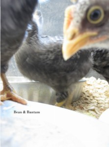 barred rock chicks in brooder