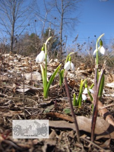April snowdrops in Vermont
