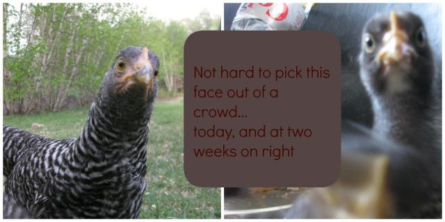 crazy chicken text