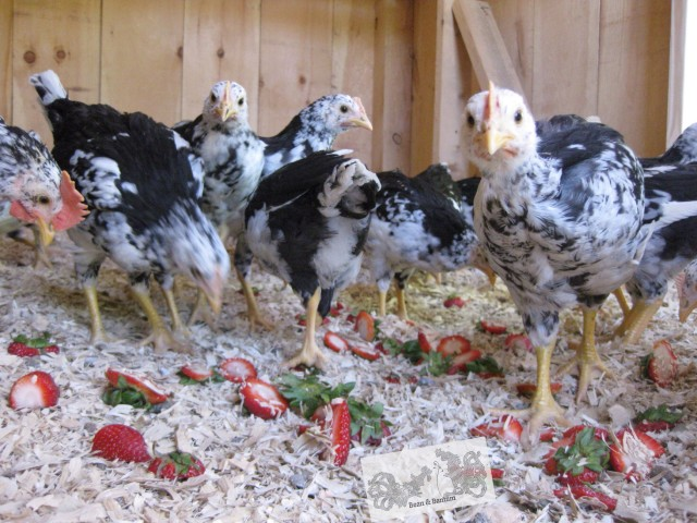 mottled java flock eating strawberry hulls