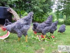 Happy chickens