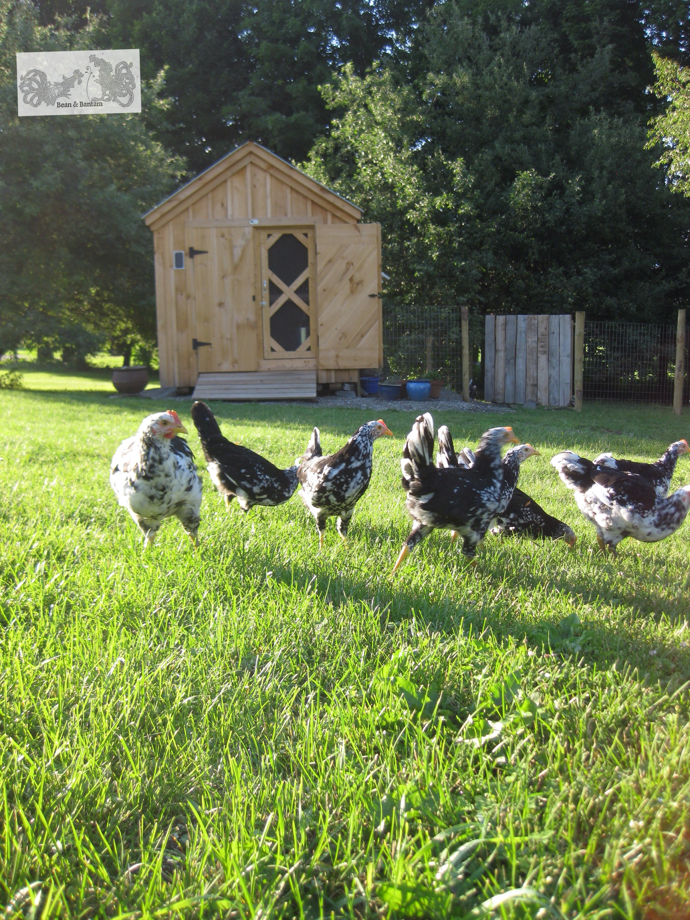 Mottled Java chicks free range outside the coop