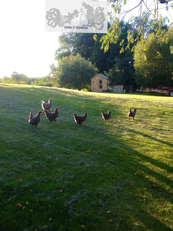 long evening shadows summer chickens