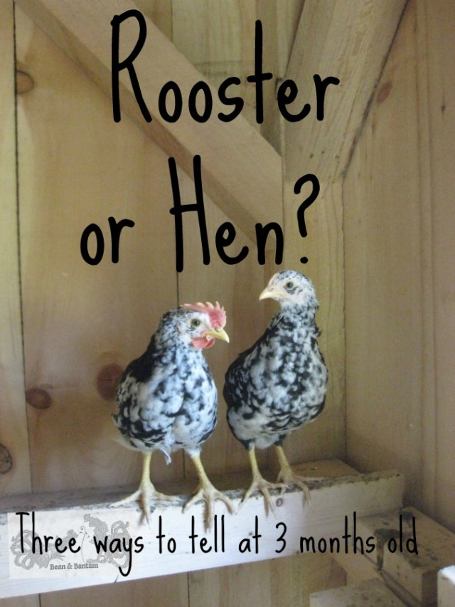 rooster or hen?