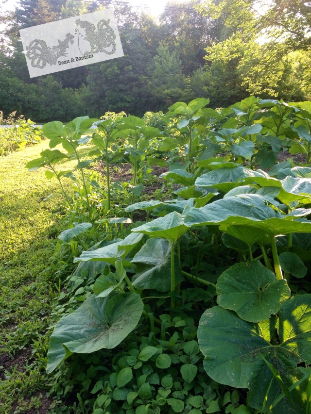 Our pumpkins (planted last month), backed with sunflowers, fronted by weeds.