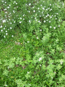 chickweed and variegated mint in the pollinator garden
