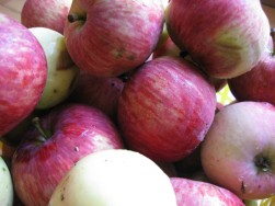 Early ripe apples, the ones that fall off the tree and must be sorted carefully, the unmarked ones gathered.