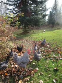 Bean & Bantam chickens free range as I plant 1,000 crocus bulbs