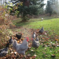 Bean & Bantam chickens free range as I plant 1,000 crocus bulbs