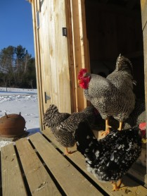 First winter rooster almost 1 year old