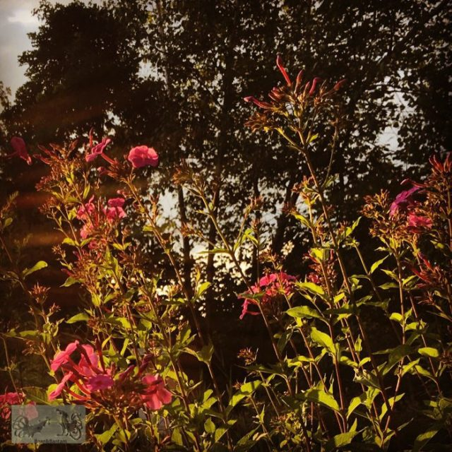 Phlox and tree silouhettes in the wild garden at sunset